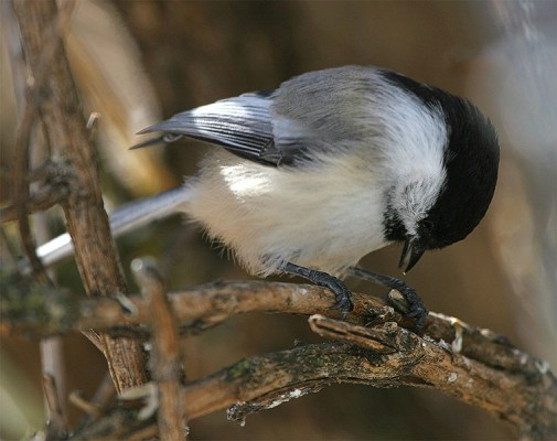 Black-capped Chickadee opening a seed