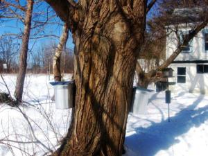 Sap buckets on the Sugar Maple