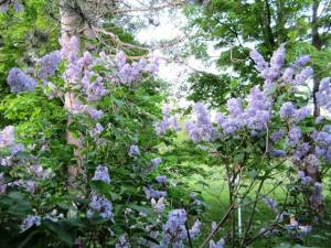 Lilacs welcome a new day.