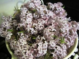 Lilac blossoms ready for preserving.