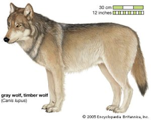 Gray Wolf, Timber Wolf (Canis lupus)