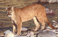Cougar (Puma concolor) - courtesy of USFWS