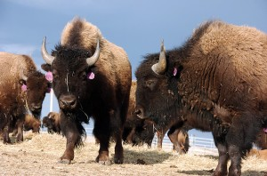 Montana Bison (Photo credit: Matthew Brown/AP)