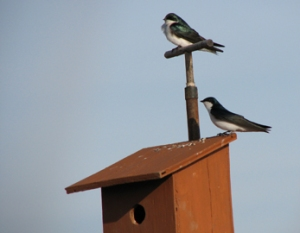 Tree Swallows are cavity nesters and easily encouraged through the installation of next boxes. (Photo courtesy of http://www.treeswallowprojects.com/)