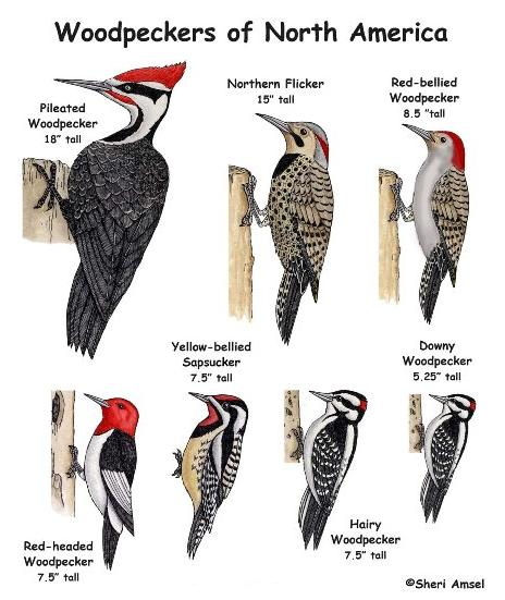 all types of woodpeckers 2