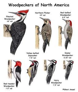 woodpecker_posterweb