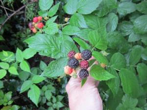 Naturalized Black Raspberries