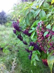 Elderberries (Sambucus canadensis)