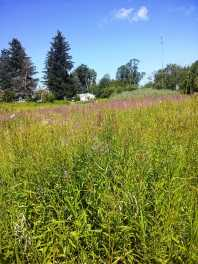 "Purple Loosestrife dominates the wet meadow on ""The Acre"""