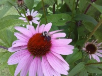 Echinacea, a native composite, supports human health and feeds native pollinators