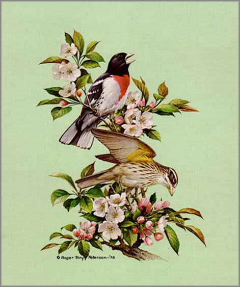 Peterson's attention to detail encompasses every aspect of his works. Not only are the birds exacting, but the apple branch and blossoms included are perfect representations as well. Rose-breasted Grosbeak (1978). Image courtesy of http://galleryone.com)
