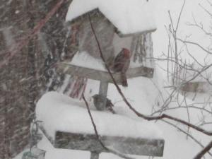 Northern Cardinal feeding during the blizzard of March 12, 2014.