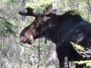 This Bull Moose was photographed in Algonquin Provincial Park (Ontario) in May of 2012.