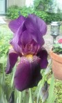 The Bearded Iris was spectacular but heavy rain shortened blossom time.