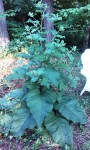 Giant Burdock - useful for food and medicine but far too beautiful to harvest. It's nearly 6' tall.