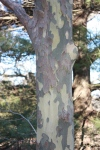 The mottled bark of the American Sycamore