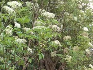 """Elders in flower on """"The Acre"""""""