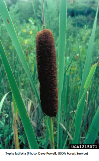 Catail (Typha latifolia)
