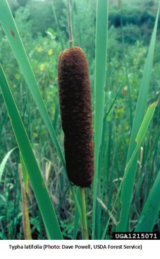 Catail (Typha latifolia)