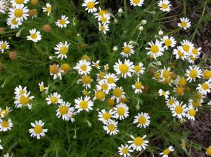 Roman Chamomile - small bright flowers atop delicate fern-like leaves